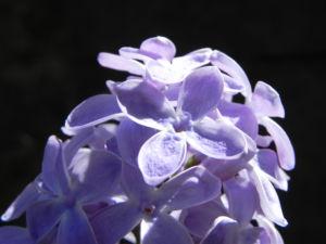 Gemeiner Flieder Bluete helllila Syringa vulgaris 11