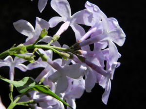 Gemeiner Flieder Bluete helllila Syringa vulgaris 12