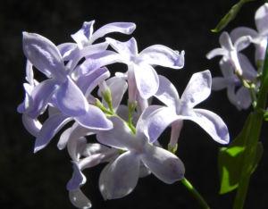 Gemeiner Flieder Bluete helllila Syringa vulgaris 13
