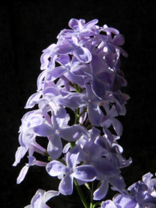 Gemeiner Flieder Bluete helllila Syringa vulgaris 14