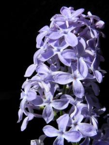Gemeiner Flieder Bluete helllila Syringa vulgaris 15