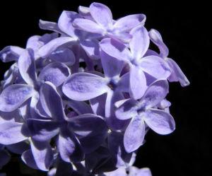 Gemeiner Flieder Bluete helllila Syringa vulgaris 16