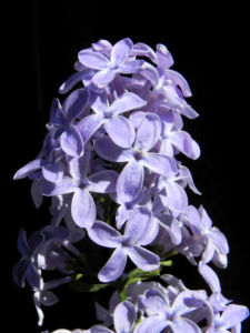 Gemeiner Flieder Bluete helllila Syringa vulgaris 21