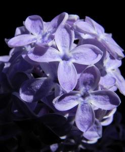 Gemeiner Flieder Bluete helllila Syringa vulgaris 24