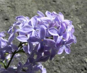 Gemeiner Flieder Bluete helllila Syringa vulgaris 25