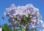 Bild: Gemeiner Flieder Blüte helllila Syringa vulgaris
