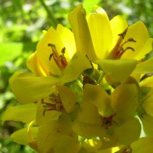 Gemeiner Gilbweiderich Lysimachia vulgaris 01
