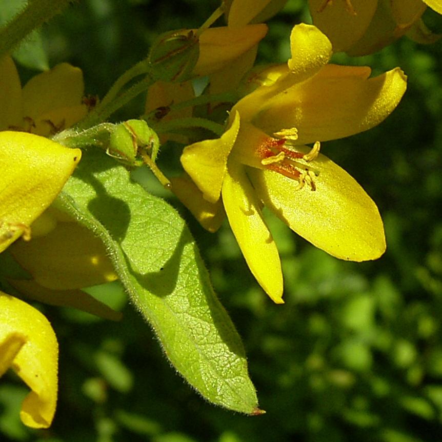 Gemeiner Gilbweiderich Lysimachia vulgaris