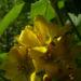 Zurück zum kompletten Bilderset Gemeiner Gilbweiderich - Lysimachia vulgaris