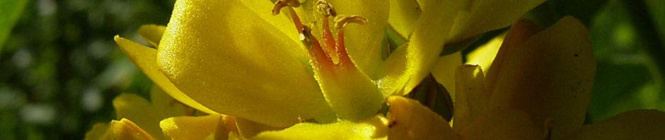 gemeiner-gilbweiderich-lysimachia-vulgaris