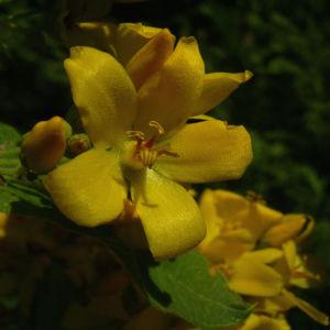 Gemeiner Gilbweiderich Lysimachia vulgaris 05