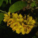Gemeiner Gilbweiderich Lysimachia vulgaris 06