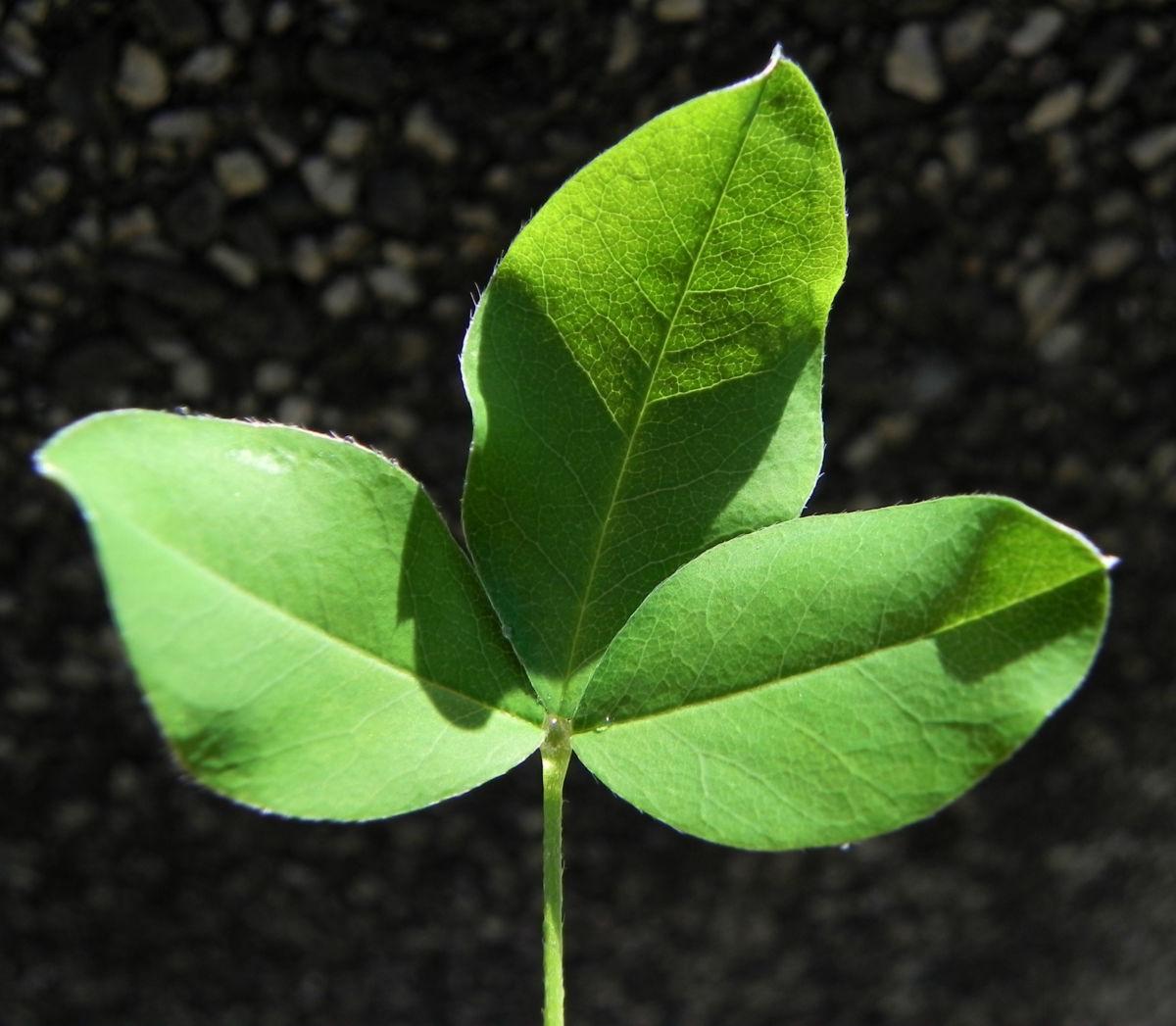 Gemeiner Goldregen Blatt gruen Laburnum anagyroides