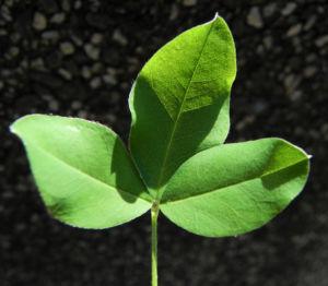 Image: Gemeiner Goldregen Blatt gruen Laburnum anagyroides
