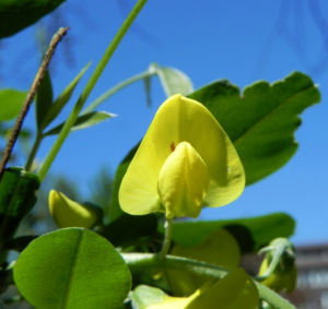 Gemeiner Goldregen Bluete gelb Laburnum anagyroides 06