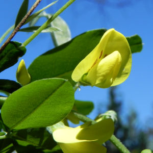 Gemeiner Goldregen Bluete gelb Laburnum anagyroides 07