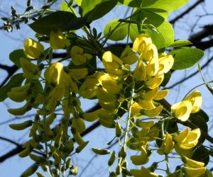 Gemeiner Goldregen Bluete gelb Laburnum anagyroides 12