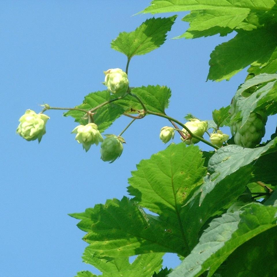 Gemeiner Hopfen Humulus lupulus