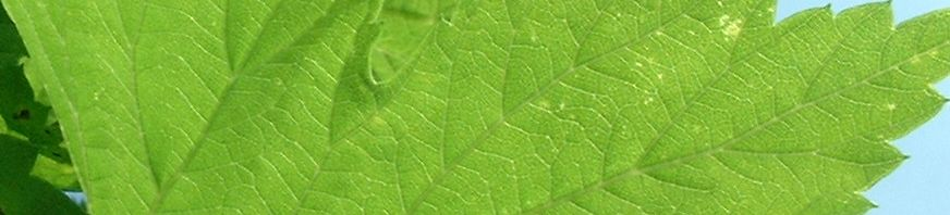 Anklicken um das ganze Bild zu sehen Gemeiner Hopfen Humulus lupulus