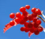 Gemeiner Schneeball Frucht Blatt rot Viburnum opulus 01