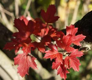 Gemeiner Schneeball Frucht Blatt rot Viburnum opulus 02