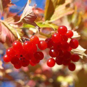 Gemeiner Schneeball Frucht Blatt rot Viburnum opulus 04