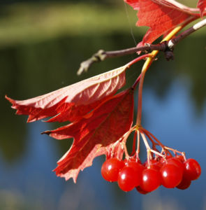 Bild: Gemeiner Schneeball Frucht Blatt rot Viburnum opulus
