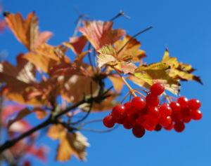 Gemeiner Schneeball Frucht Blatt rot Viburnum opulus 08