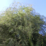 Gemeiner Spargel Beere rot Blatt gruen Asparagus officinalis 03