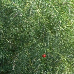Gemeiner Spargel Beere rot Blatt gruen Asparagus officinalis 09