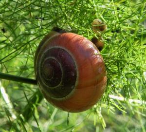 Gemeiner Spargel Beere rot Blatt gruen Asparagus officinalis 18