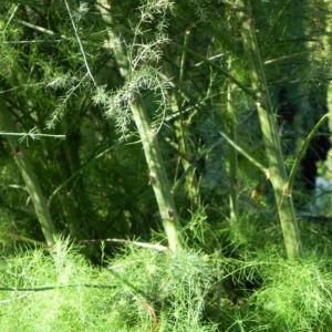Gemeiner Spargel Beere rot Blatt gruen Asparagus officinalis 20