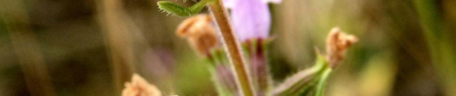 Anklicken um das ganze Bild zu sehen Feld-Steinquendel Blüte rose Acinos arvensis