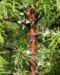 Zurück zum kompletten Bilderset Gemeiner Wacholder Blatt grün Juniperus communis