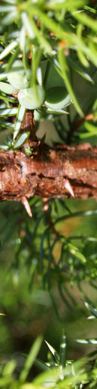 Anklicken um das ganze Bild zu sehen Gemeiner Wacholder Blatt grün Juniperus communis