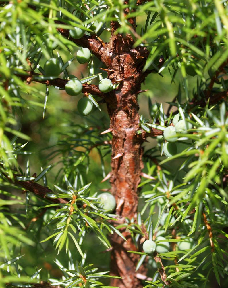 Gemeiner Wacholder Blatt gruen Juniperus communis