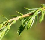 Gemeiner Wacholder Blatt gruen Juniperus communis 04