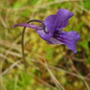 Gemeines Fettkraut Bluete lila Pinguicula vulgaris 02