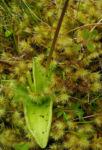 Gemeines Fettkraut Bluete lila Pinguicula vulgaris 03