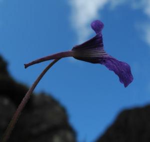 Gemeines Fettkraut Bluete lila Pinguicula vulgaris 06