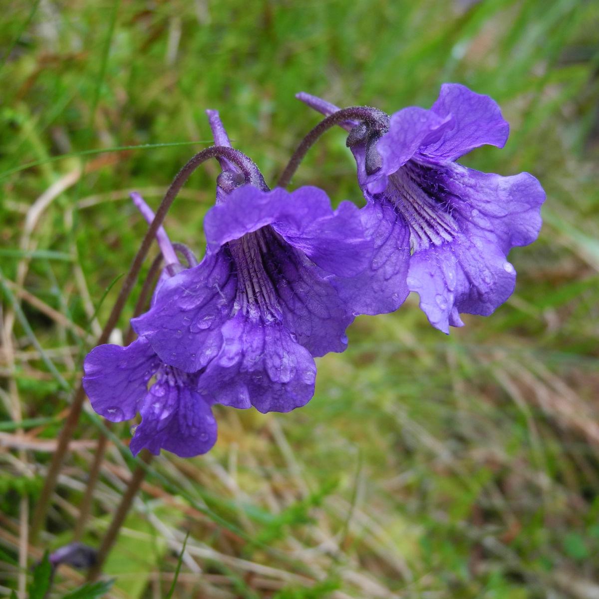 Gemeines Fettkraut Bluete lila Pinguicula vulgaris