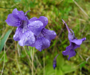 Gemeines Fettkraut Bluete lila Pinguicula vulgaris 11