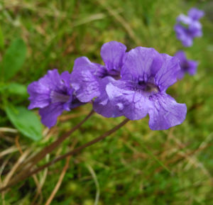 Gemeines Fettkraut Bluete lila Pinguicula vulgaris 13