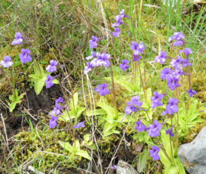 Gemeines Fettkraut Bluete lila Pinguicula vulgaris 16
