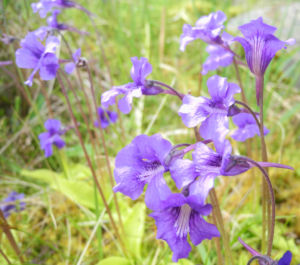 Gemeines Fettkraut Bluete lila Pinguicula vulgaris 17