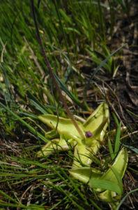 Gemeines Fettkraut Bluete lila Pinguicula vulgaris 19