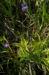 Zurück zum kompletten Bilderset Gemeines Fettkraut Blüte lila Pinguicula vulgaris
