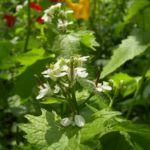 Gemeines Lauchkraut Alliaria petiolata 01