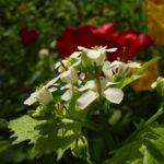 Gemeines Lauchkraut Alliaria petiolata 02