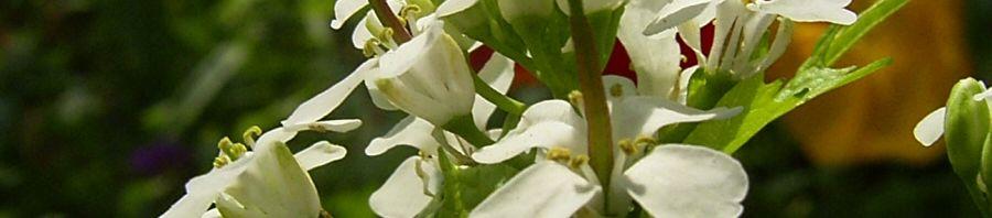 Anklicken um das ganze Bild zu sehen Knoblauchsrauke Alliaria petiolata